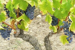 Adoption et stage vendanges de vignes