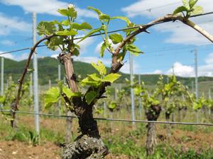 Gourmet odyssey le blog - Comment planter un pied de vigne video ...