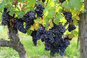 Vendanges Chinon 2011, grappes de raisin