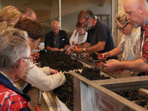 La table de tri de raisins pendant la Journée Vendanges